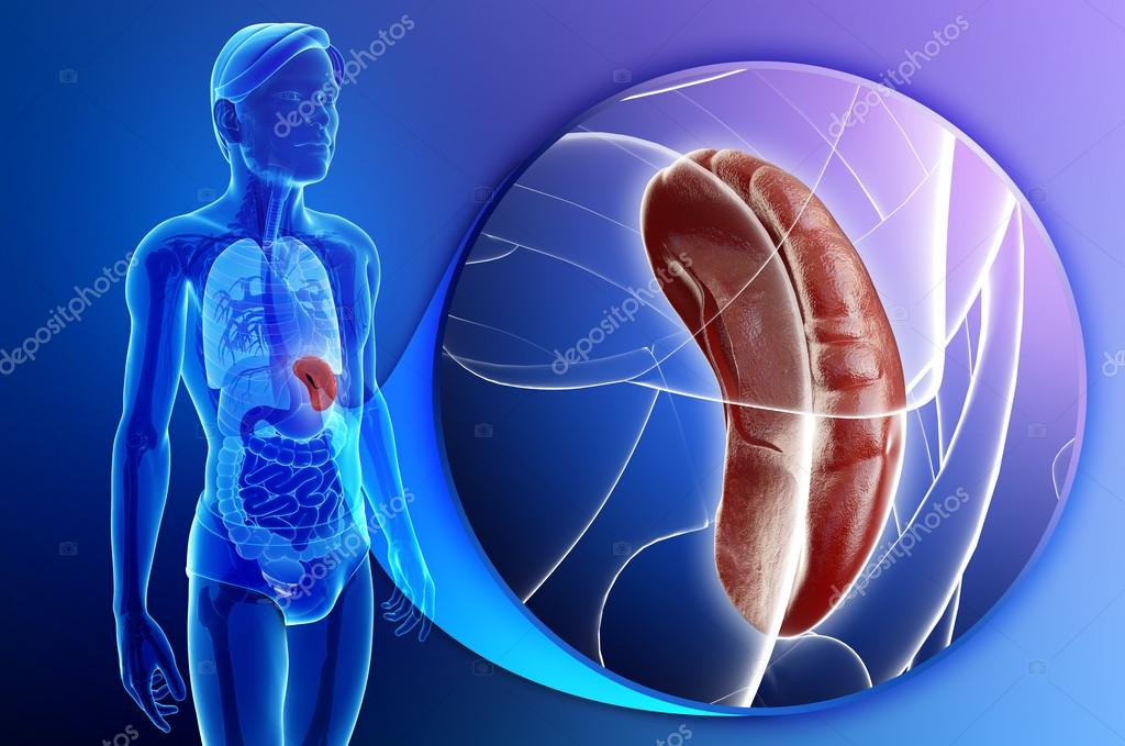 Anatomía masculina del bazo — Foto de stock © pixdesign123 #55484983