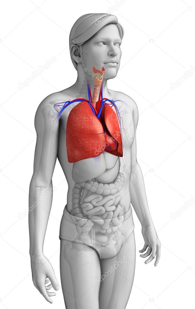 männliche Lunge Anatomie — Stockfoto © pixdesign123 #55485645