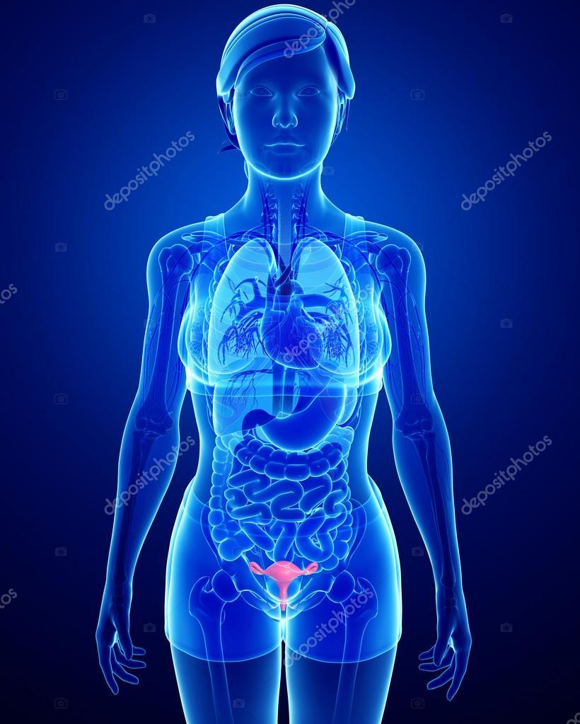 weibliche Gebärmutter Anatomie — Stockfoto © pixdesign123 #55486155