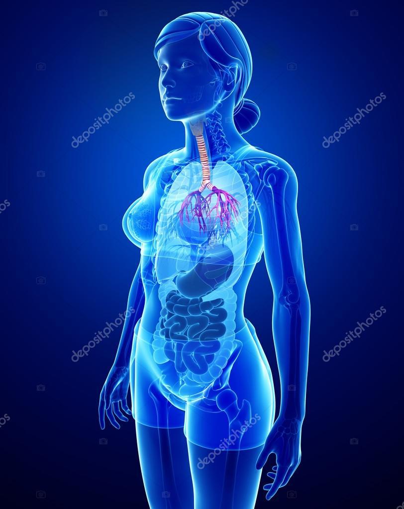 anatomía femenina garganta — Fotos de Stock © pixdesign123 #55486207