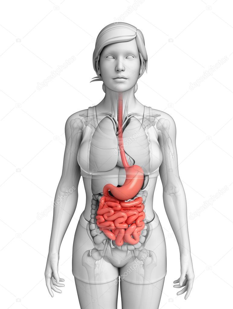 dunne darm anatomie van vrouwelijke — Stockfoto © pixdesign123 #55486227