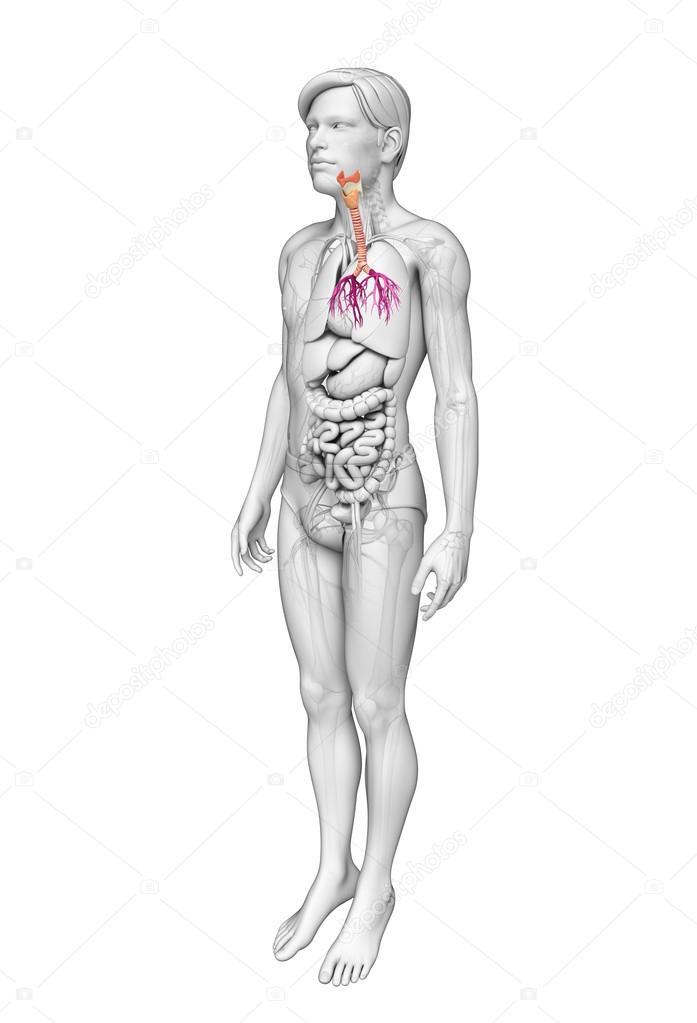 männliche Hals Anatomie — Stockfoto © pixdesign123 #55486237