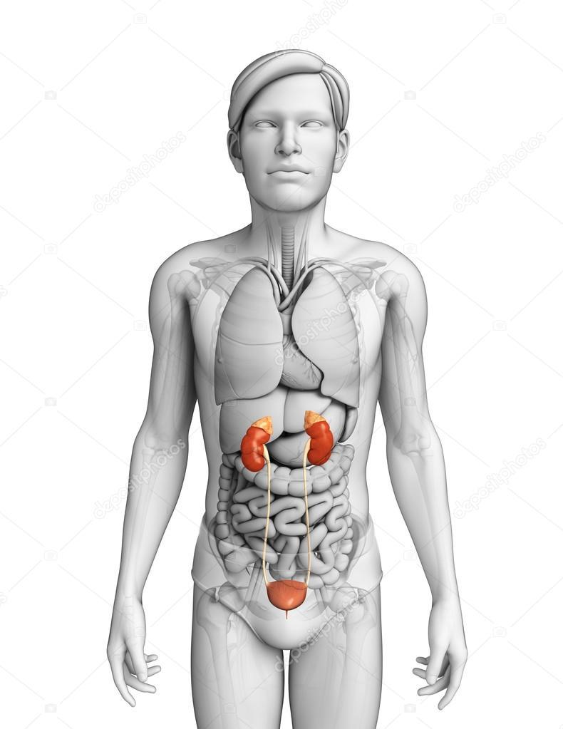 Male Urinary System Stock Photo Pixdesign123 55486273