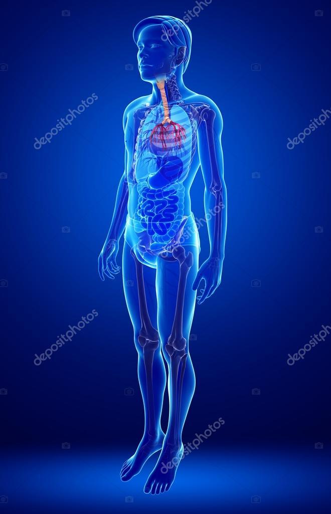Anatomía masculina garganta — Fotos de Stock © pixdesign123 #55487081