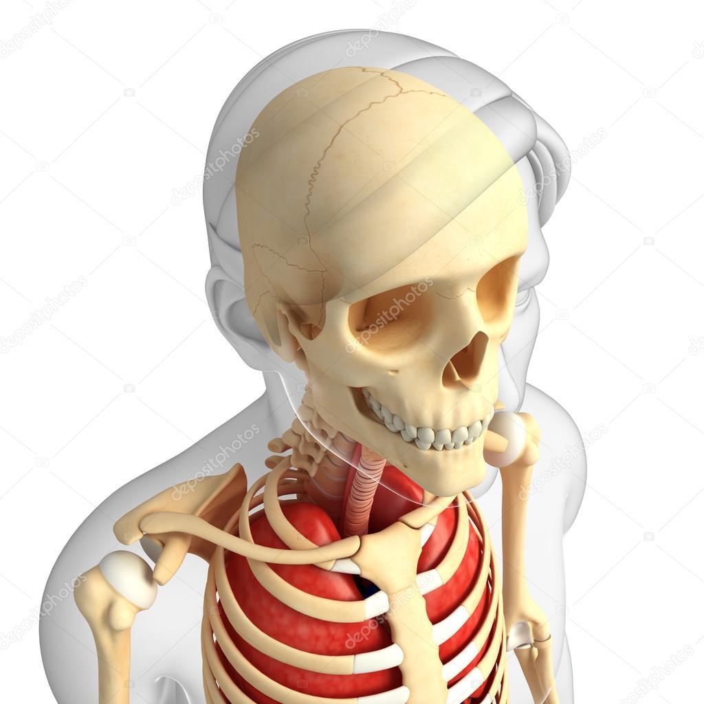anatomía humana cabeza — Foto de stock © pixdesign123 #55487165