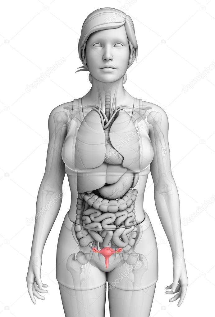 weibliche Gebärmutter Anatomie — Stockfoto © pixdesign123 #55487355
