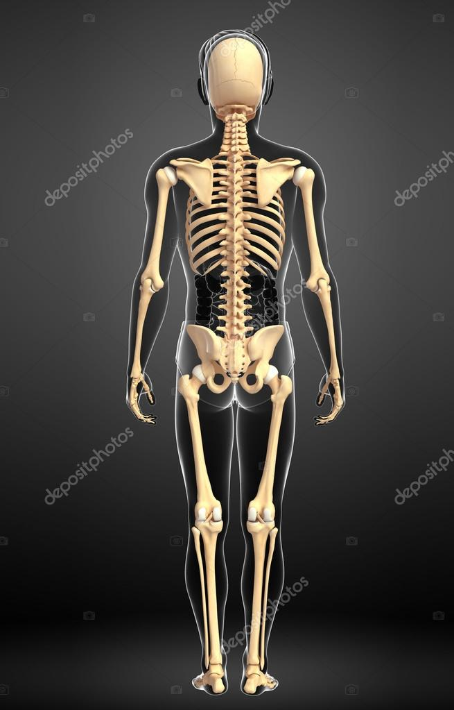 Human Skeleton Back View Stock Photo Pixdesign123 55489033