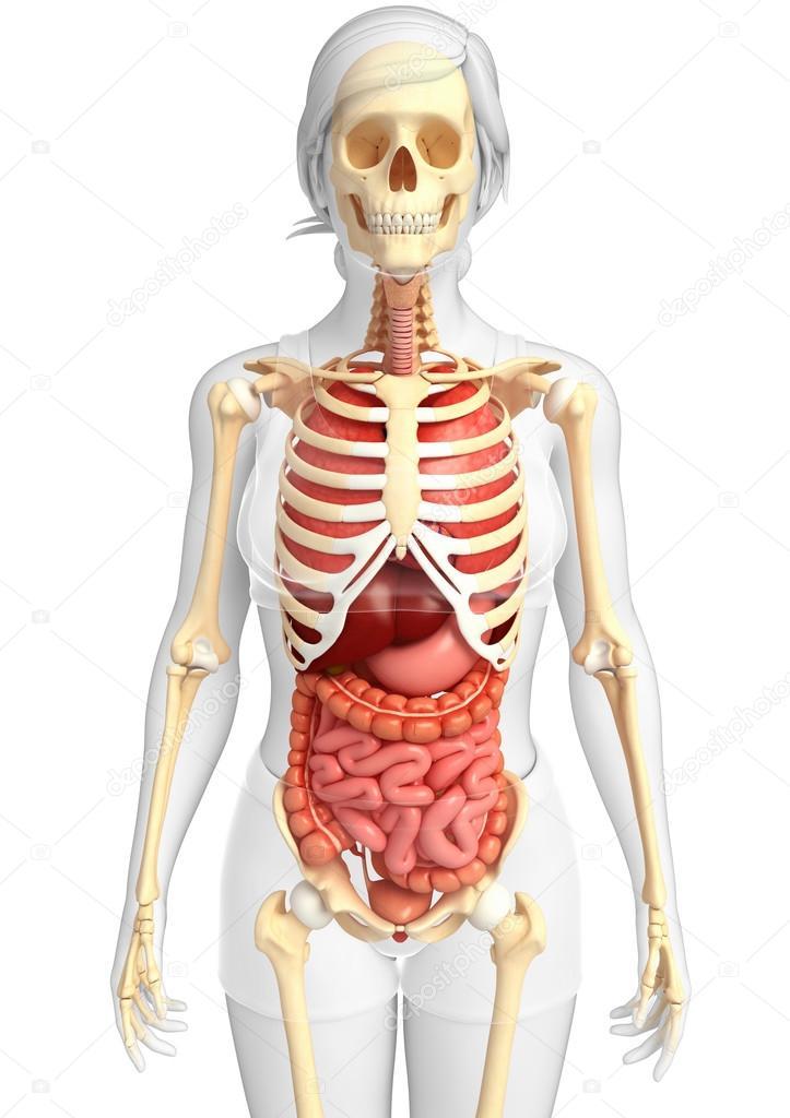 esqueleto femenino y el sistema digestivo — Fotos de Stock ...