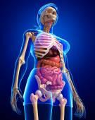 ženské kostry a trávicí systém