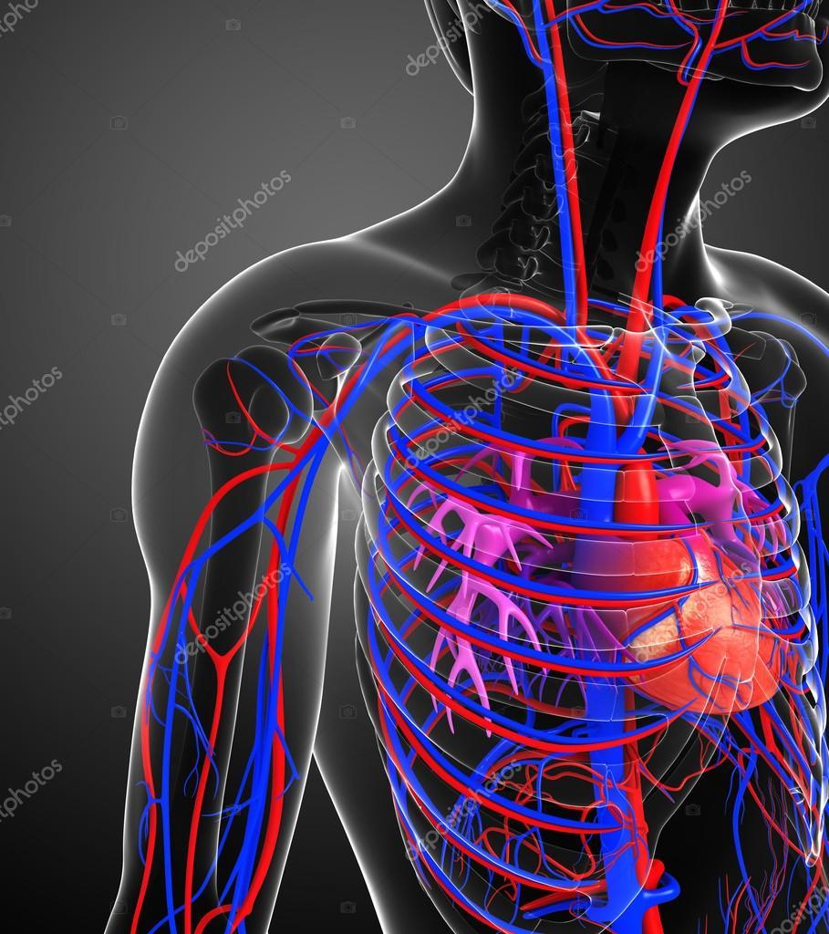 Male Heart Circulatory System Stock Photo Pixdesign123 55492515