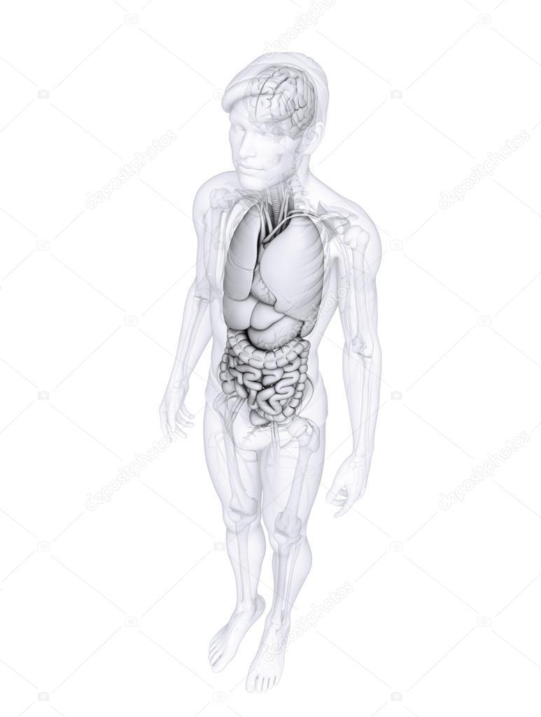 Verdauungstrakt der männlichen Anatomie — Stockfoto © pixdesign123 ...