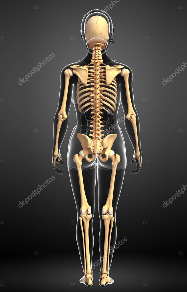 Human Skeleton Back View Stock Photo Pixdesign123 55495527