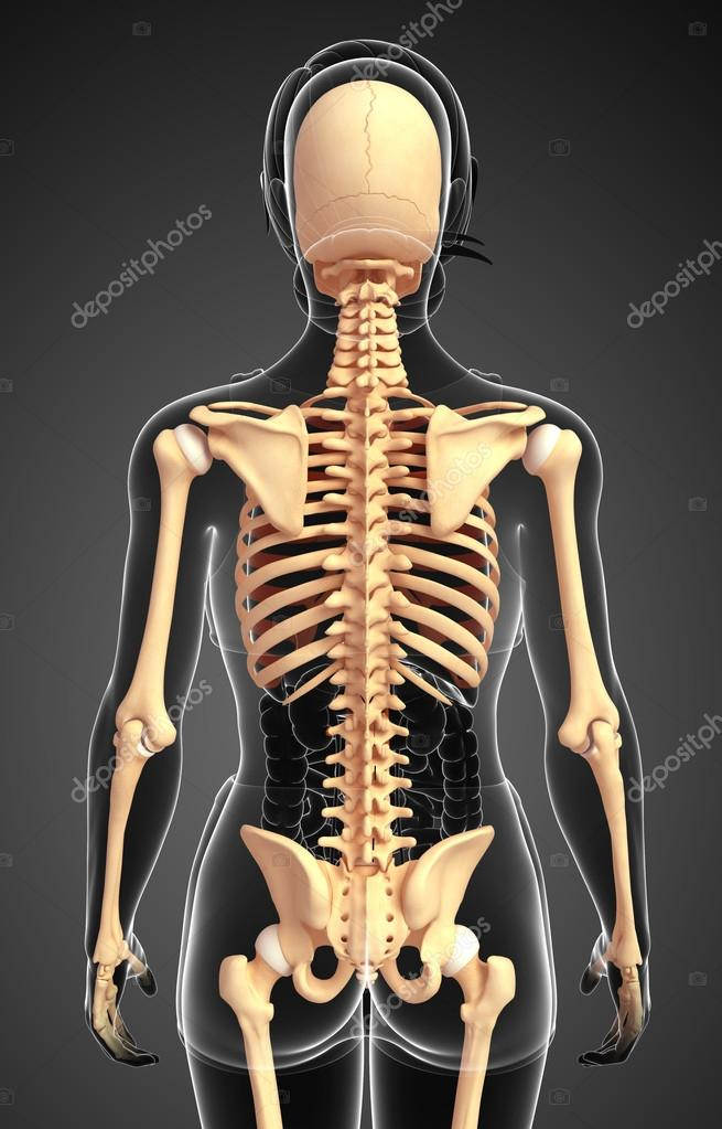 Human Skeleton Back View Stock Photo Pixdesign123 55495613