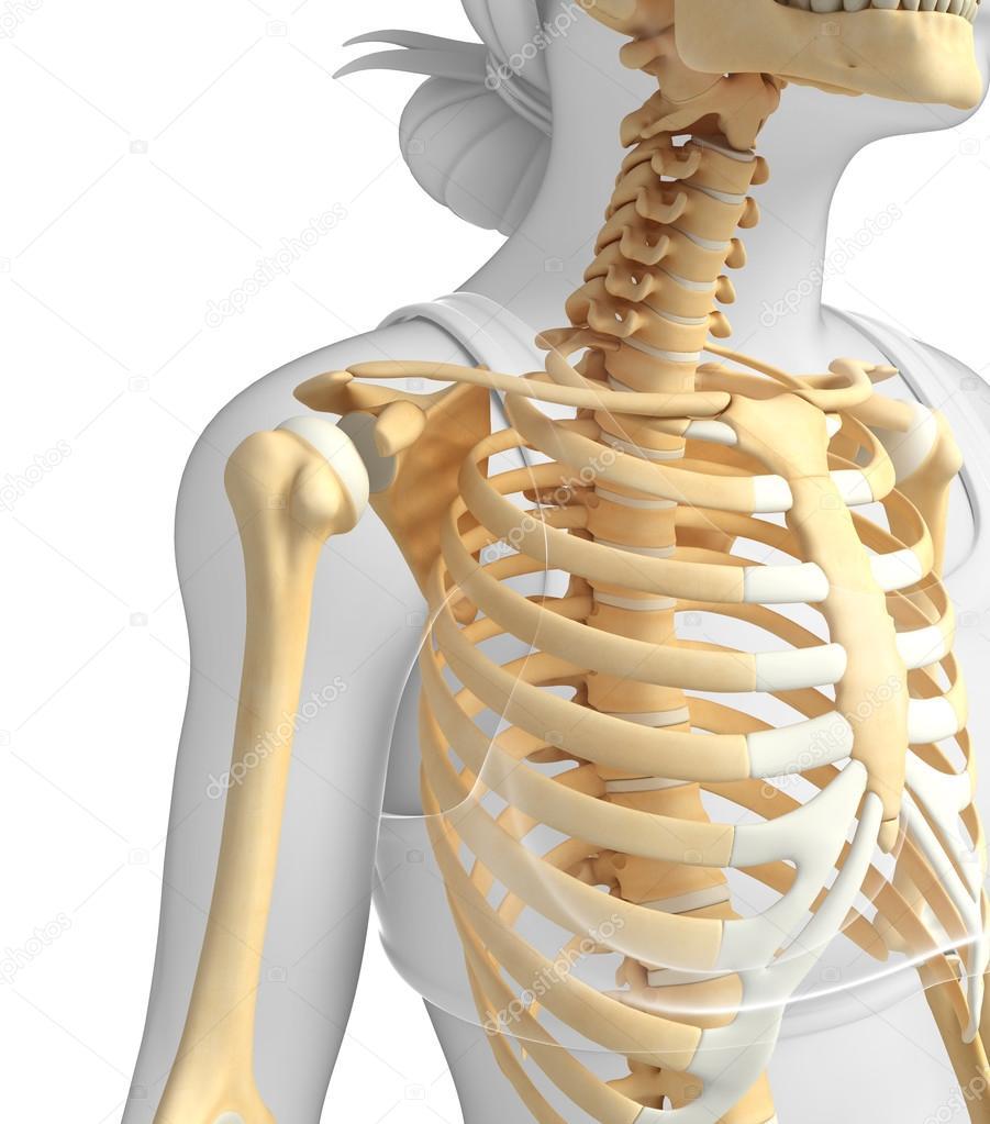 Shoulder Skeleton Artwork Stock Photo Pixdesign123 55496255