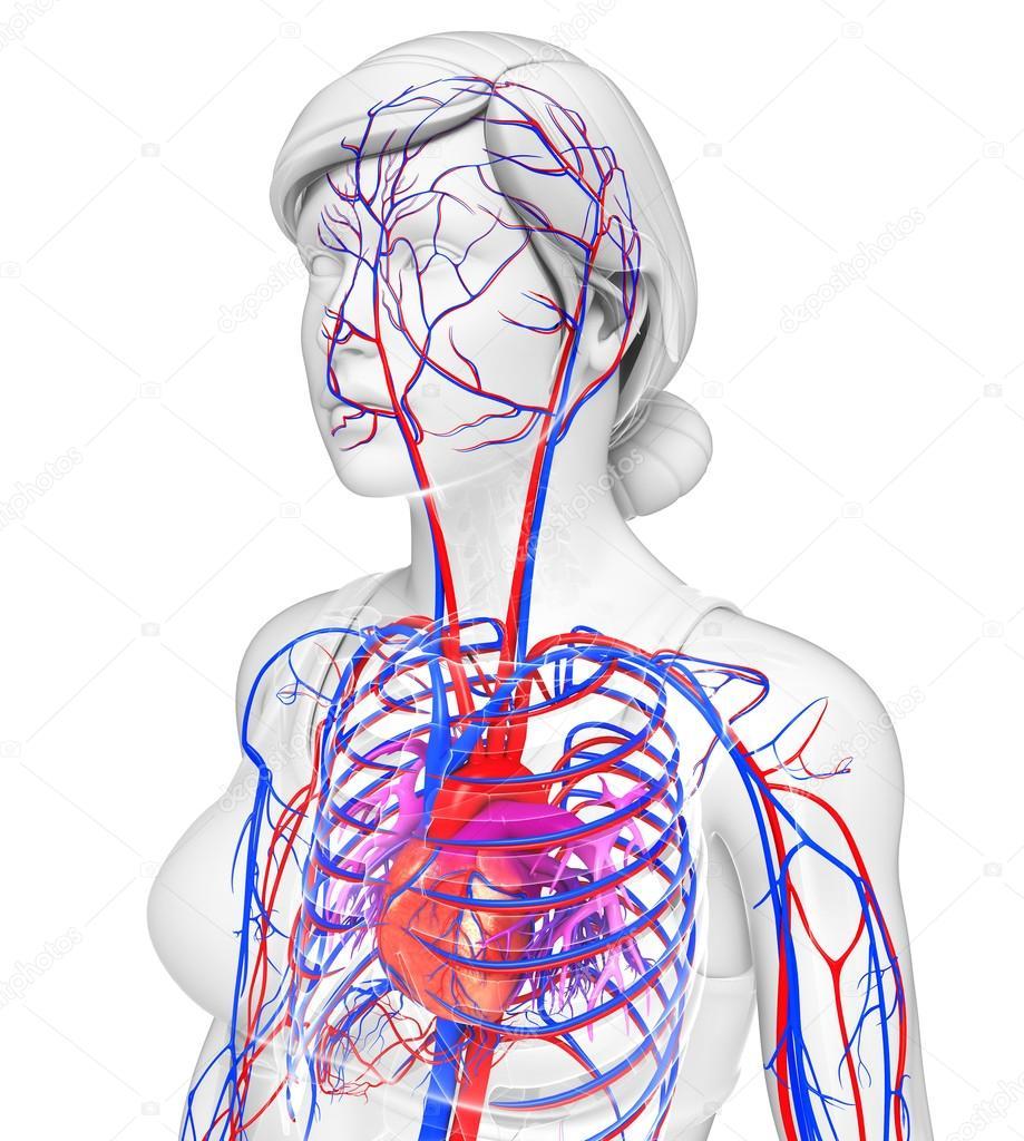 vrouwelijke hart bloedsomloop — Stockfoto © pixdesign123 #55496351