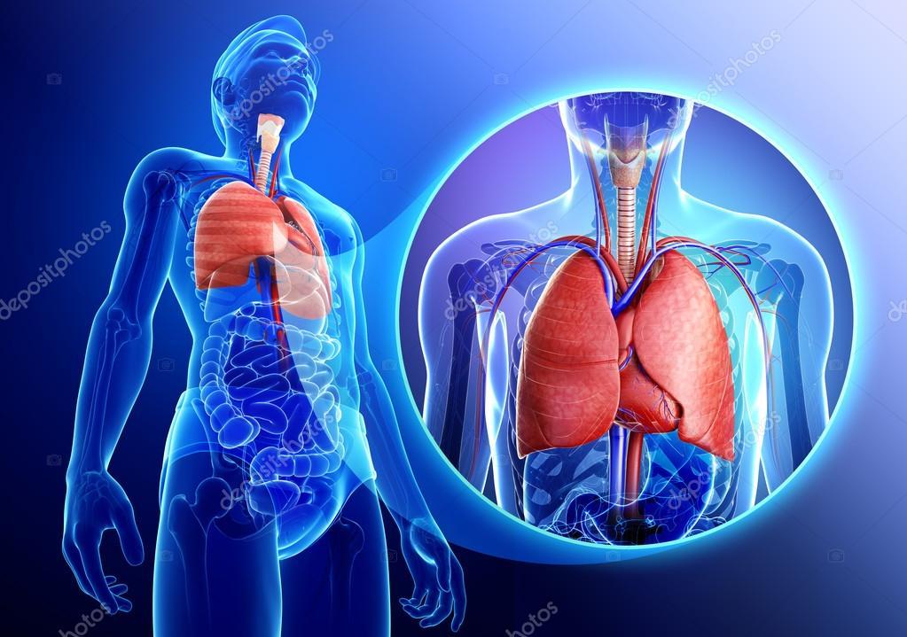 Anatomía masculina pulmones — Fotos de Stock © pixdesign123 #55497969