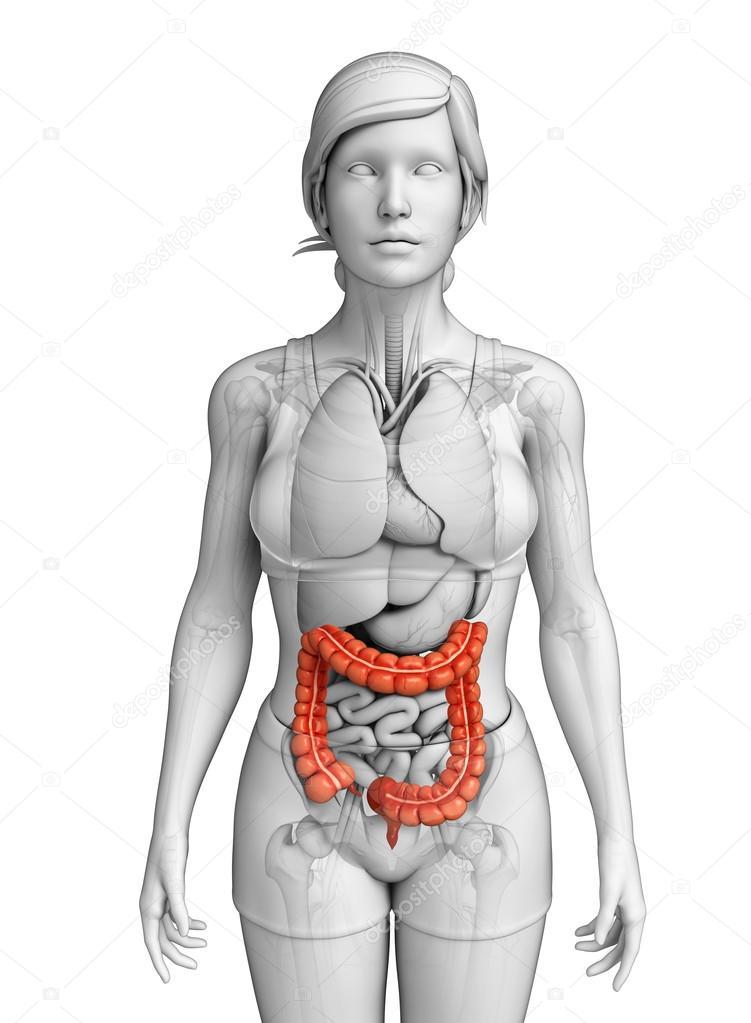 weibliche Dickdarm Anatomie — Stockfoto © pixdesign123 #55499143