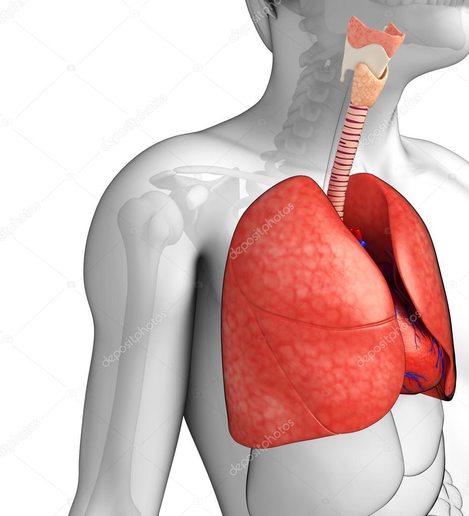 männliche Lunge Anatomie — Stockfoto © pixdesign123 #55499161