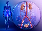 Fotografie mužský močový systém
