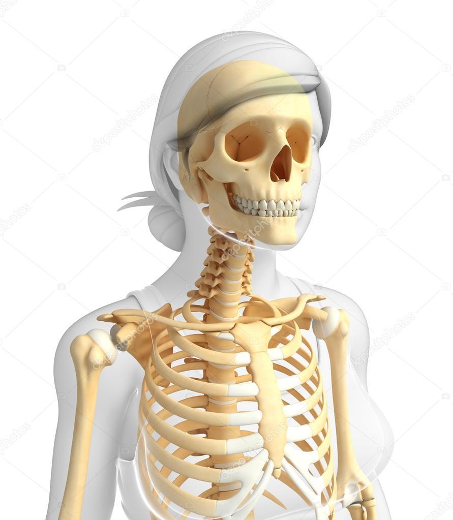 Menschliches Skelett Anatomie — Stockfoto © pixdesign123 #55500237