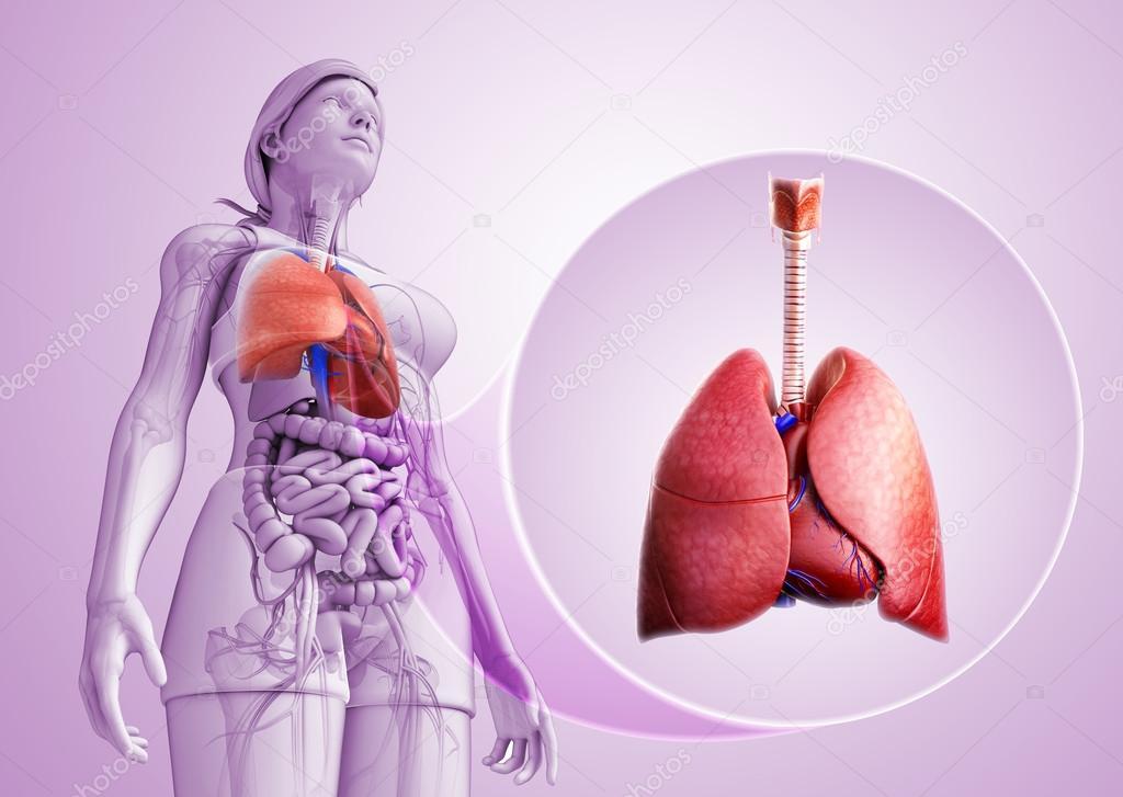 männliche Lunge Anatomie — Stockfoto © pixdesign123 #55501565