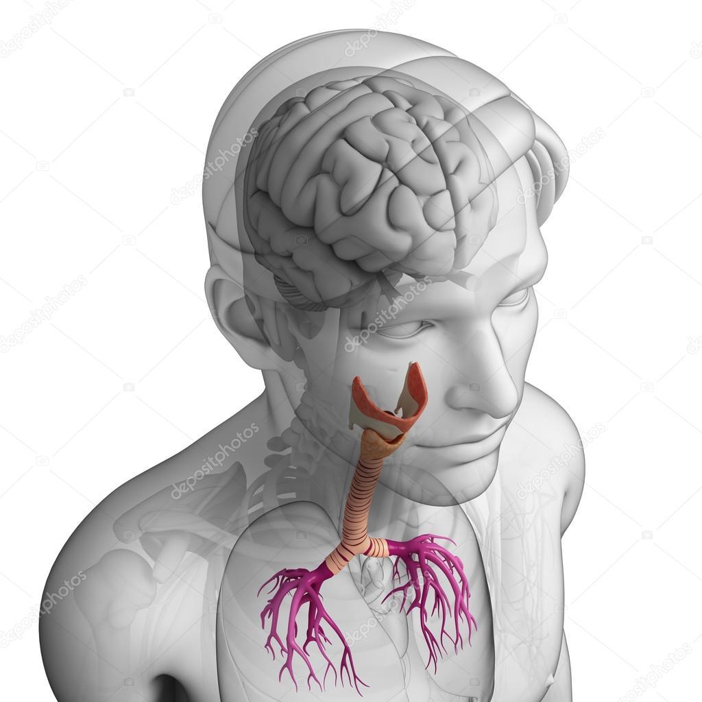 Anatomía masculina garganta — Foto de stock © pixdesign123 #55502413