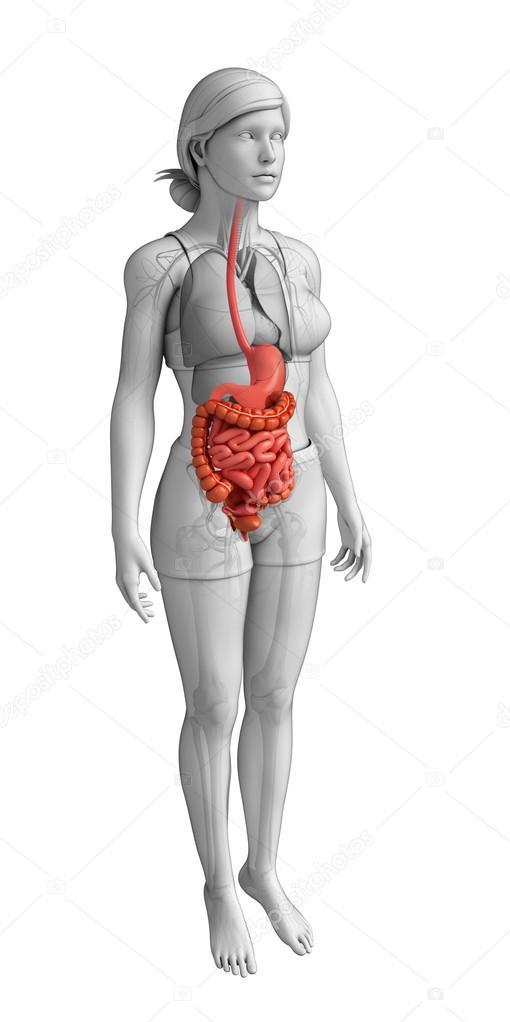 weibliche Dickdarm Anatomie — Stockfoto © pixdesign123 #55506075