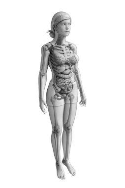 Digestive system of female anatomy
