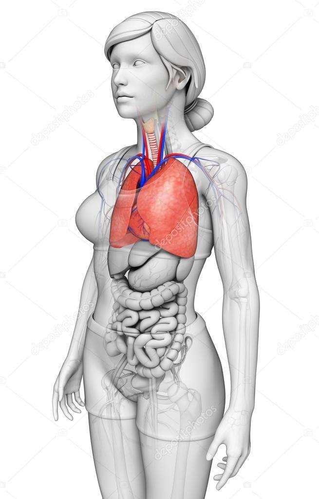männliche Lunge Anatomie — Stockfoto © pixdesign123 #55512425