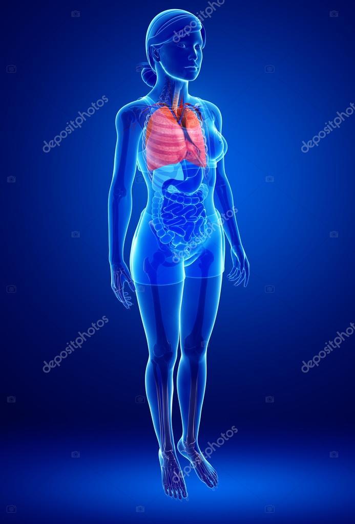 weibliche Lunge Anatomie — Stockfoto © pixdesign123 #55513481
