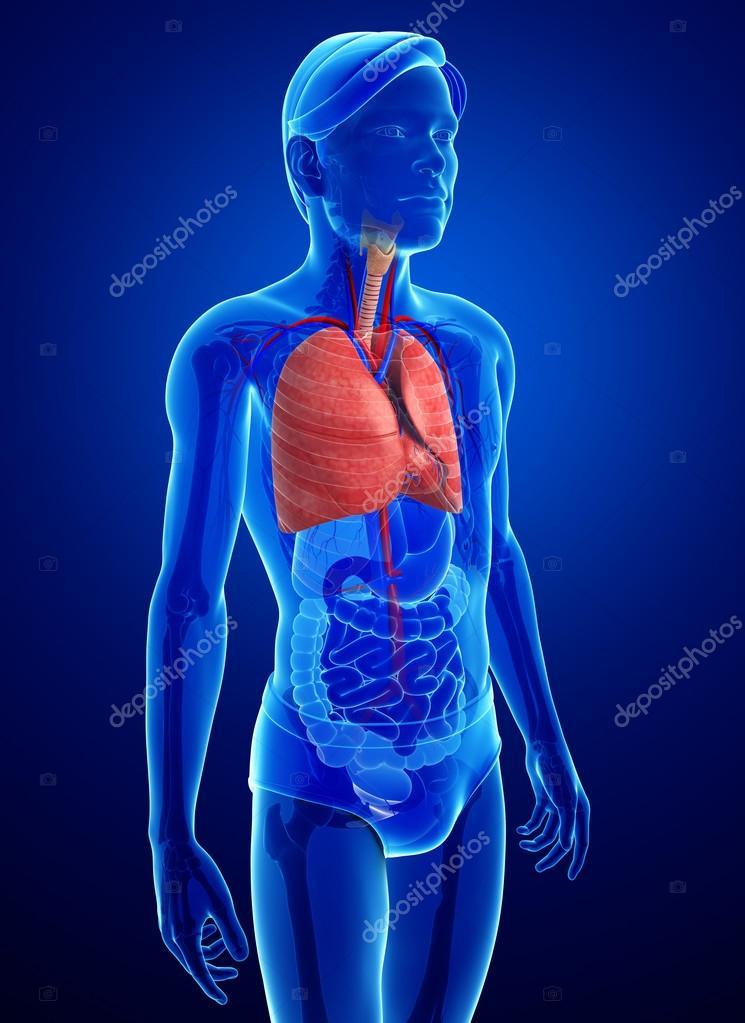 männliche Lunge Anatomie — Stockfoto © pixdesign123 #55513537
