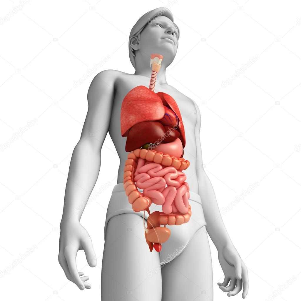 Digestive System Of Male Body Stock Photo Pixdesign123 55514973