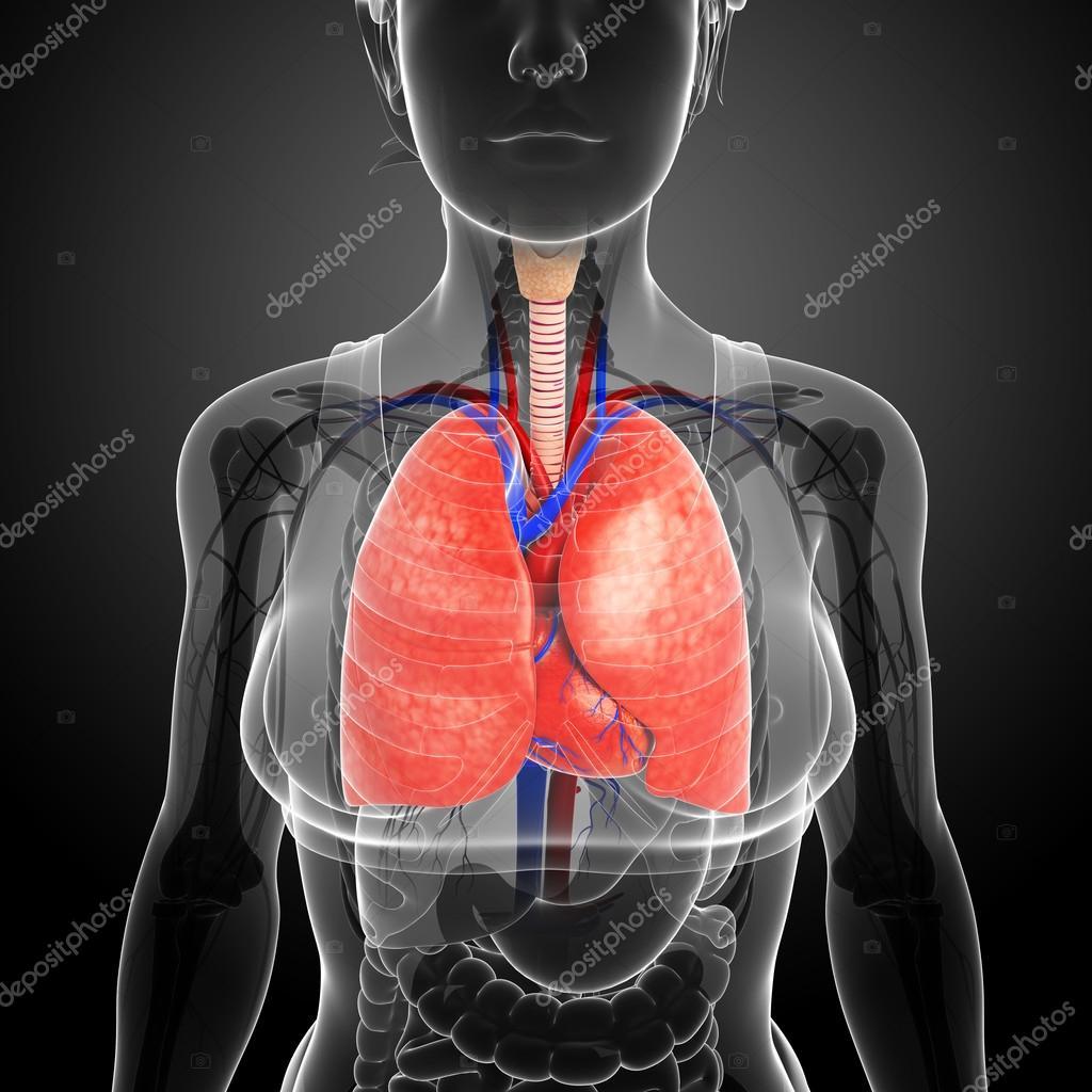 Anatomía masculina pulmones — Fotos de Stock © pixdesign123 #55516189