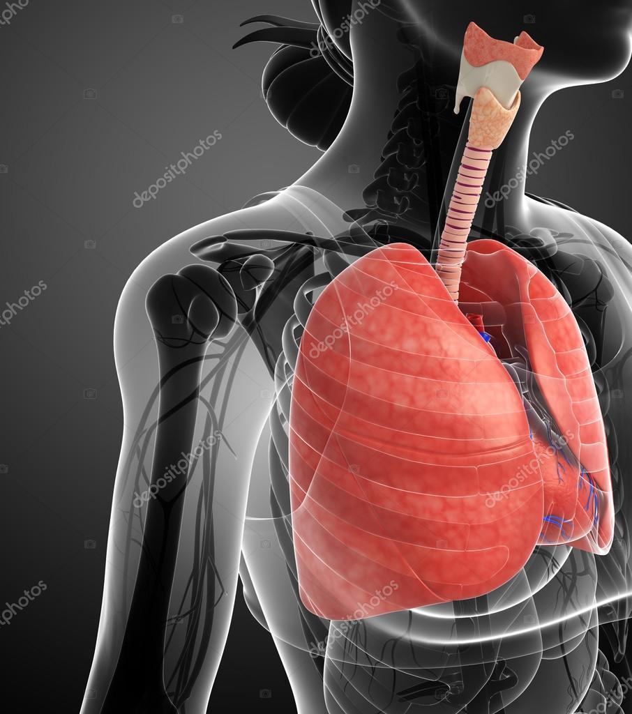 Anatomía masculina pulmones — Fotos de Stock © pixdesign123 #55516273