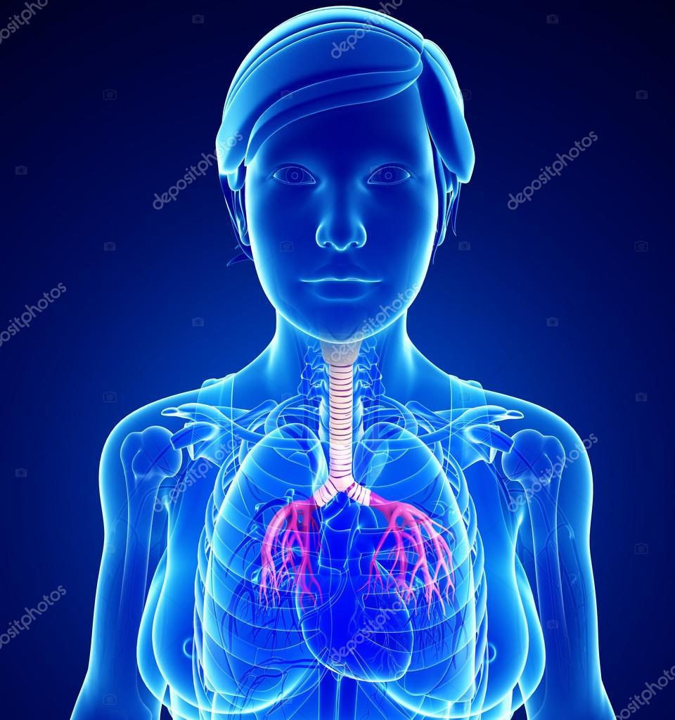 anatomía femenina garganta — Fotos de Stock © pixdesign123 #55558271
