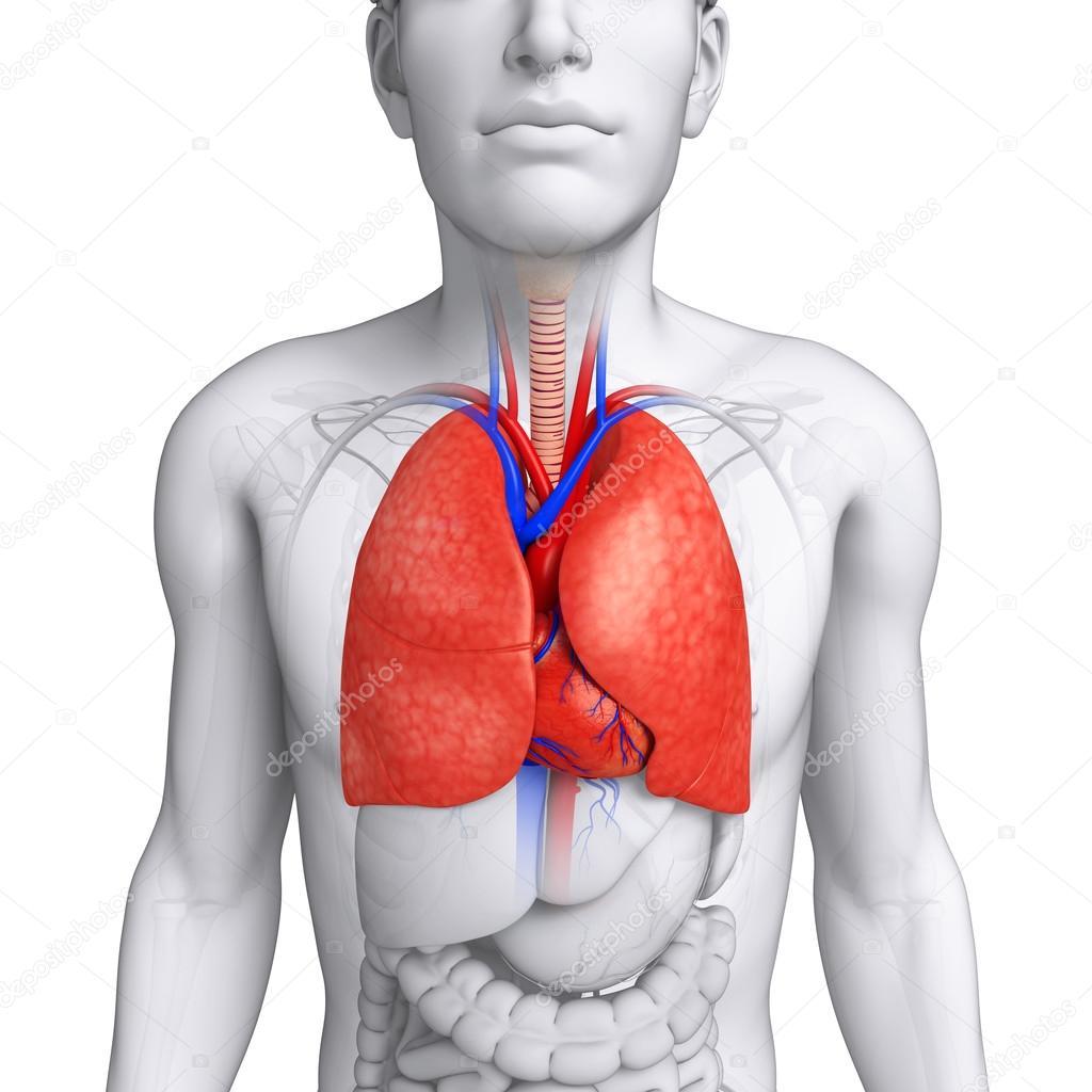 männliche Lunge Anatomie — Stockfoto © pixdesign123 #55559339