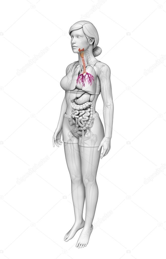 Female Throat Anatomy Stock Photo Pixdesign123 55560995