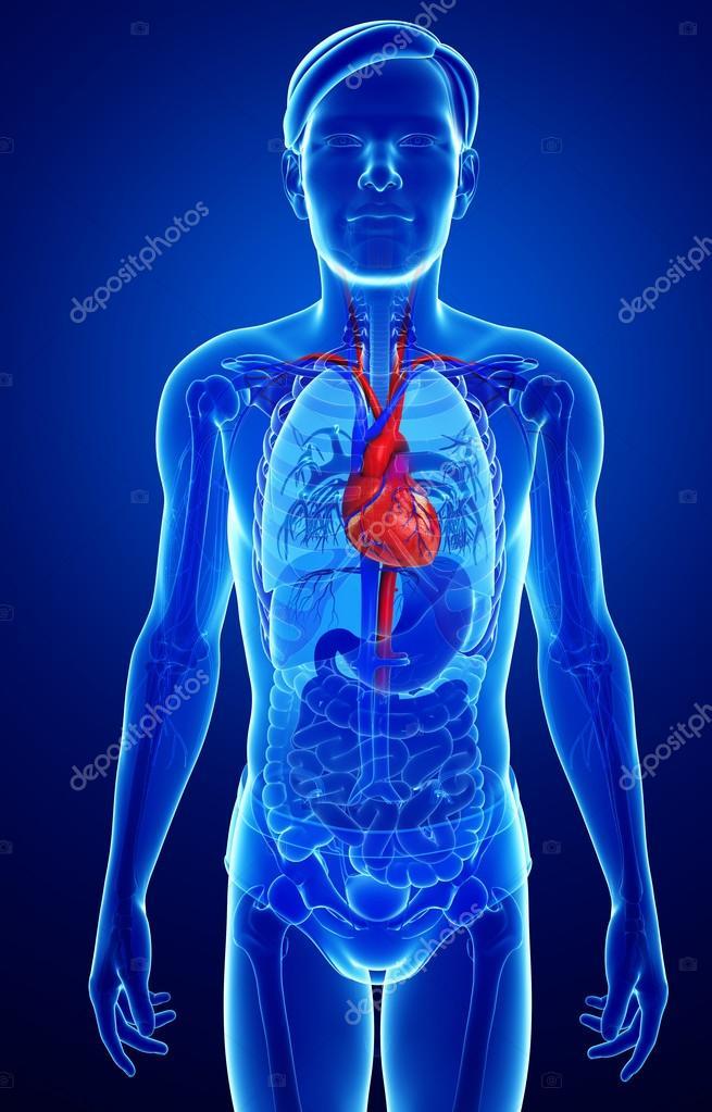 männliche Herz Anatomie — Stockfoto © pixdesign123 #55561565