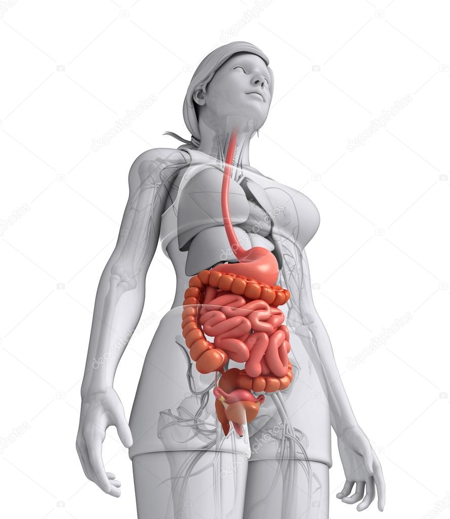 Small intestine anatomy of female — Stock Photo © pixdesign123 #55562523