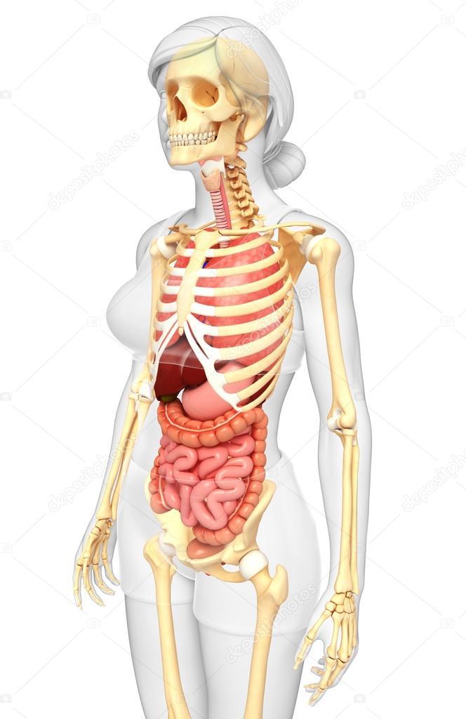 esqueleto femenino y el sistema digestivo — Foto de stock ...