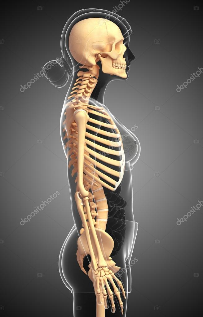Human Skeleton Side View Stock Photo Pixdesign123 55565329