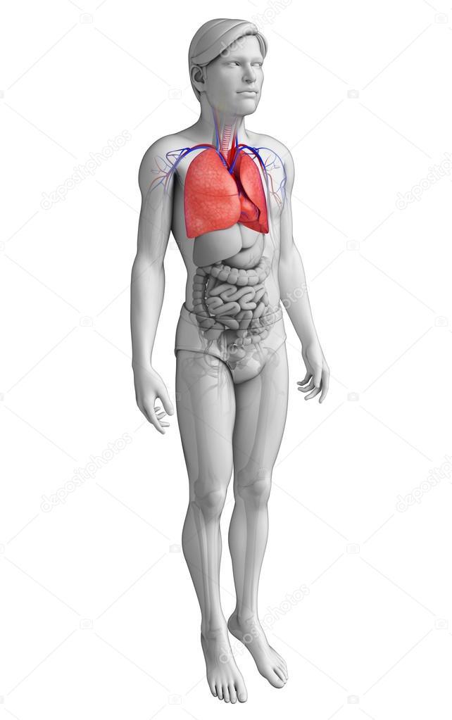 männliche Lunge Anatomie — Stockfoto © pixdesign123 #55565829