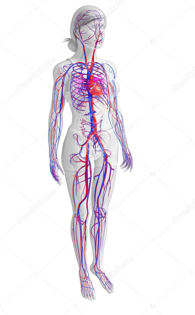 weibliche Herz-Kreislauf-system — Stockfoto © pixdesign123 #55568243