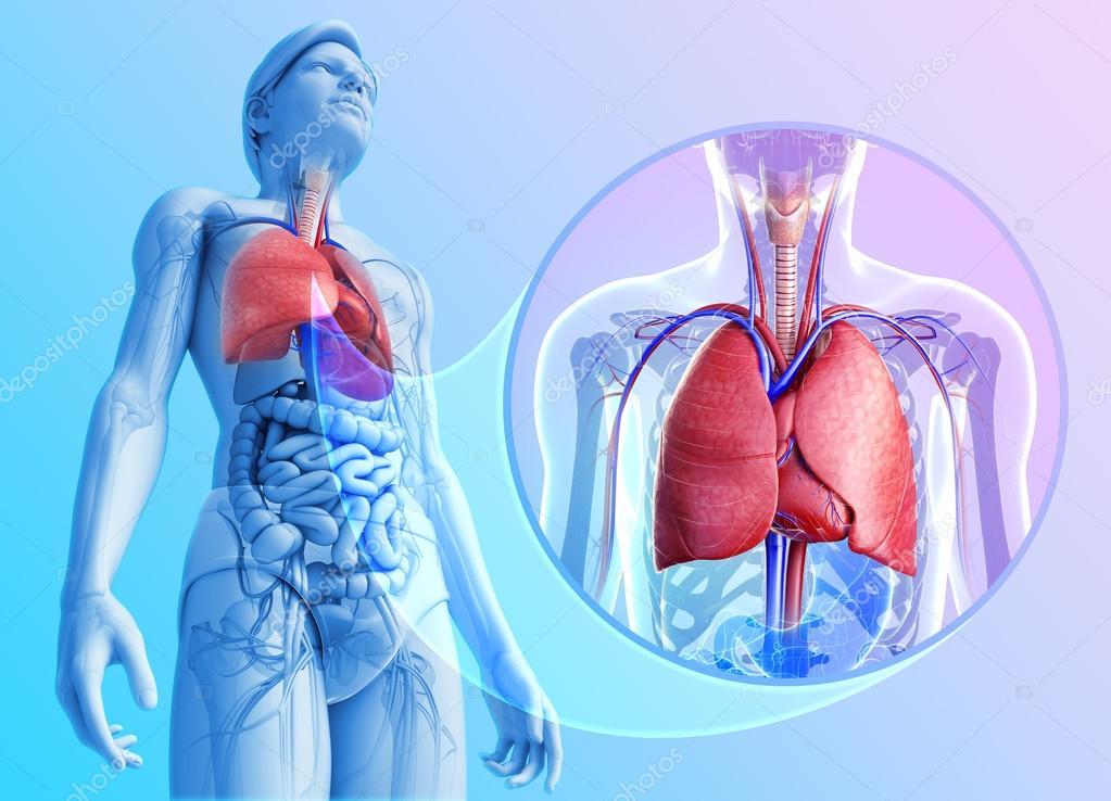 Anatomie der menschlichen Lunge — Stockfoto © pixdesign123 #55569599