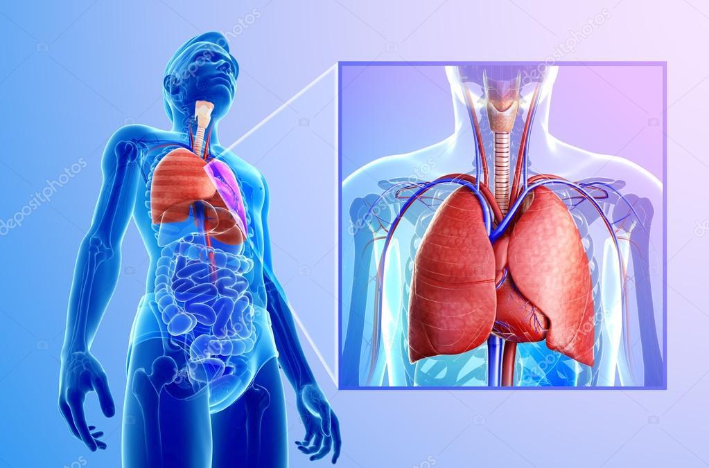 Anatomía de los pulmones — Fotos de Stock © pixdesign123 #55569651