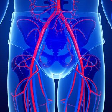 Pelvic girdle circulatory system