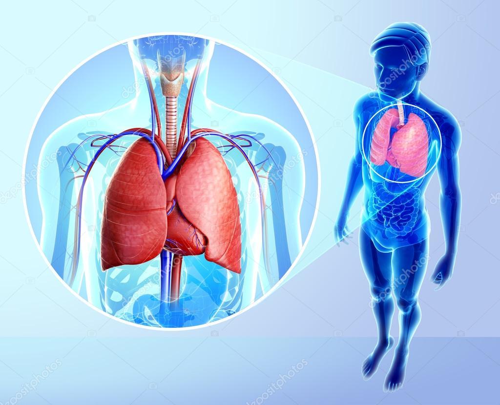 Anatomía de los pulmones — Foto de stock © pixdesign123 #55572037