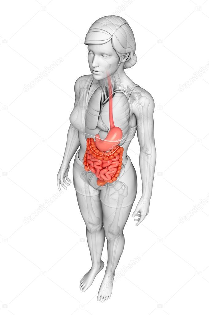 dunne darm anatomie van vrouwelijke — Stockfoto © pixdesign123 #55572435