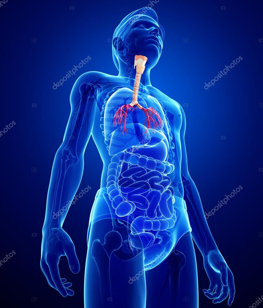 Anatomía masculina garganta — Fotos de Stock © pixdesign123 #55572461