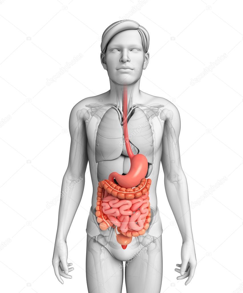 dunne darm anatomie van male — Stockfoto © pixdesign123 #55572559